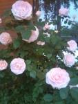 osm!pinkrose