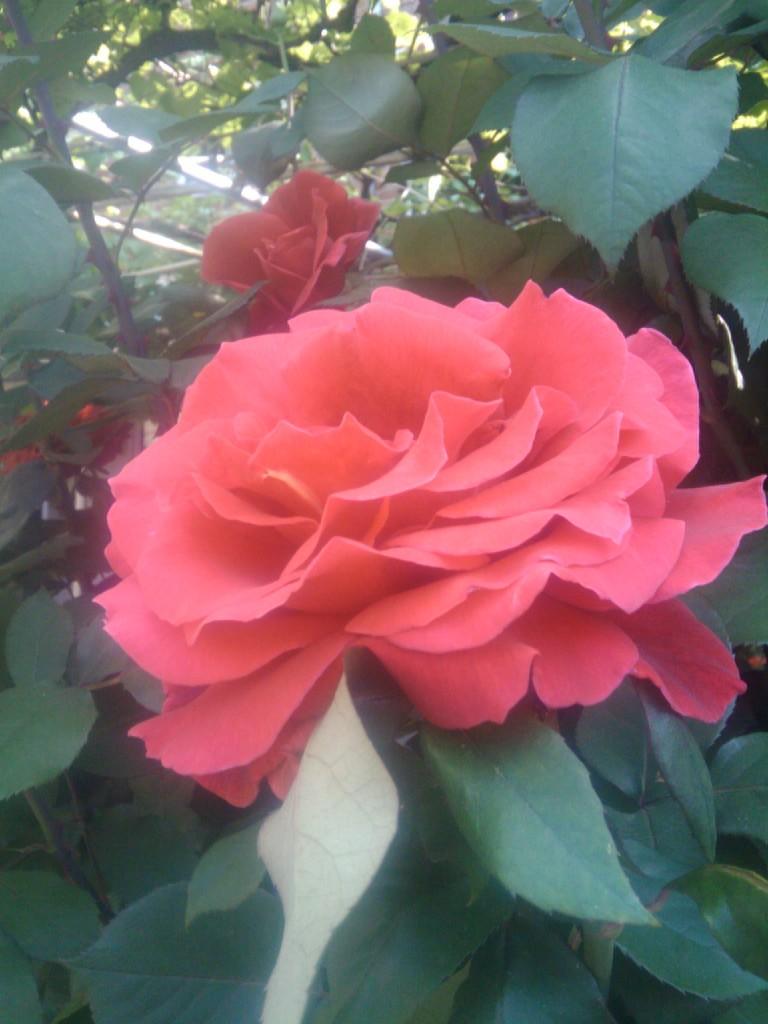 osm!rose