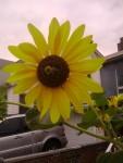 osm!sunflower